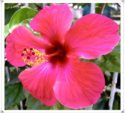 HIBUSCUS-Flor-de-un-da-a19108309-1